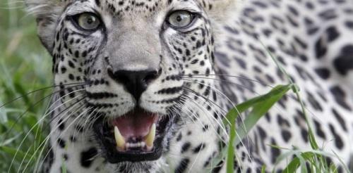léopard egypte (Magà Ettori - Blog)