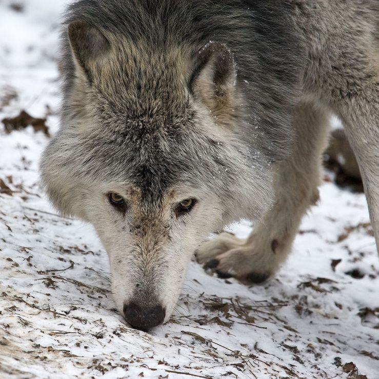abattage loups - Magà Ettori Blog