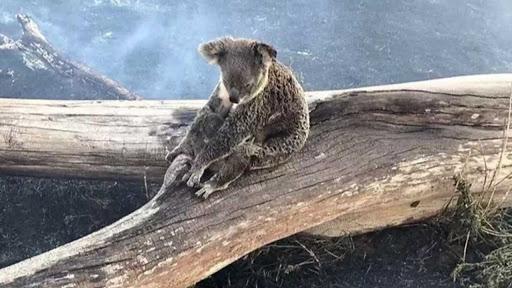 incendie-australie-koala INSAVE